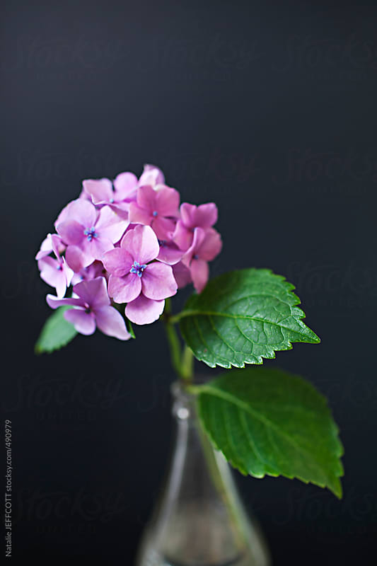 close up of hydrangea flowers against dark background by Natalie JEFFCOTT for Stocksy United