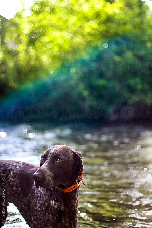 Dog stands in a summer creek by Hannah Dewey for Stocksy United