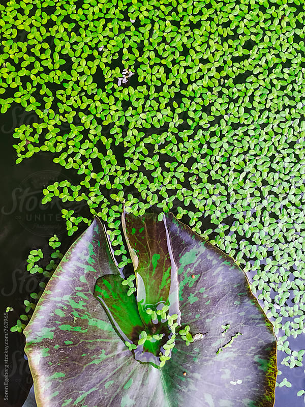 Background of green plants in a pond by Søren Egeberg Photography for Stocksy United