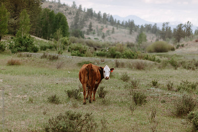 Cow at a Ranch in the Rocky Mountains by Levi Tijerina for Stocksy United