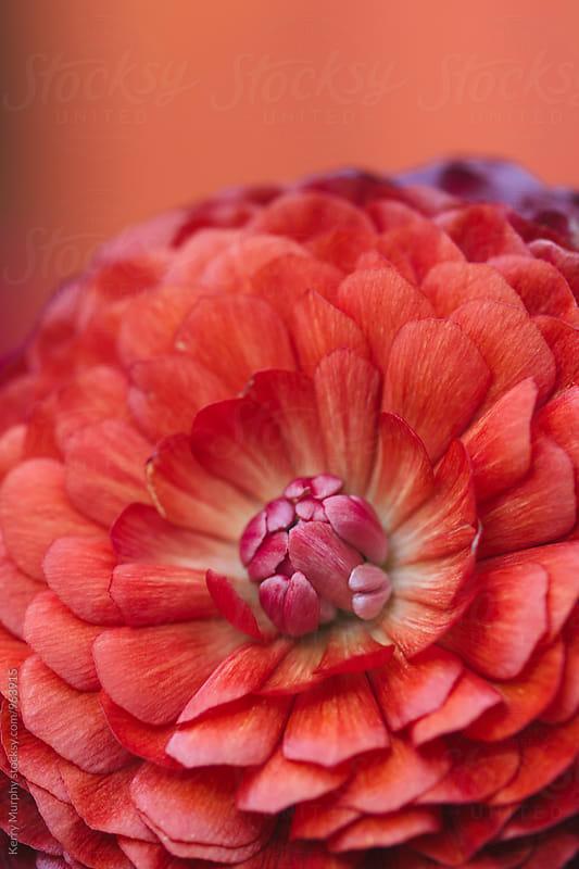 Macro of ranunculus flower petals by Kerry Murphy for Stocksy United