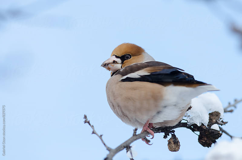 Hawfinch (Coccothraustes coccothraustes)  by Gabriel Ozon for Stocksy United