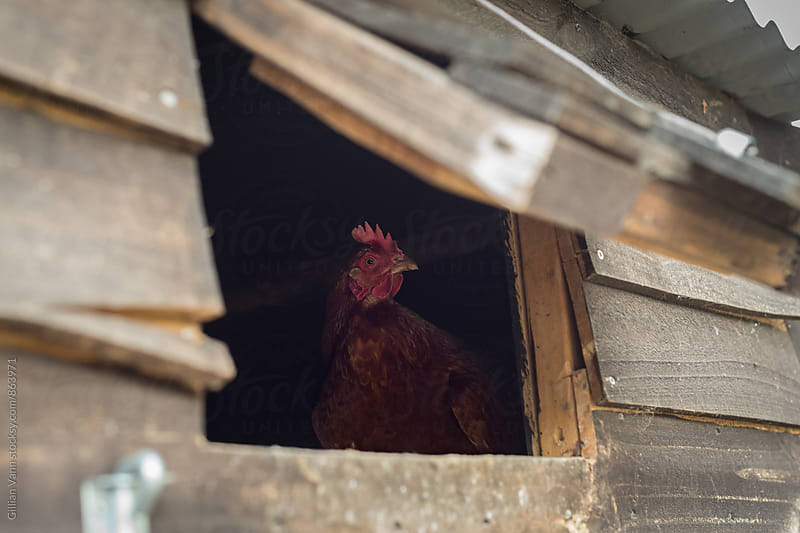 chicken peeking out a window of the coop by Gillian Vann for Stocksy United