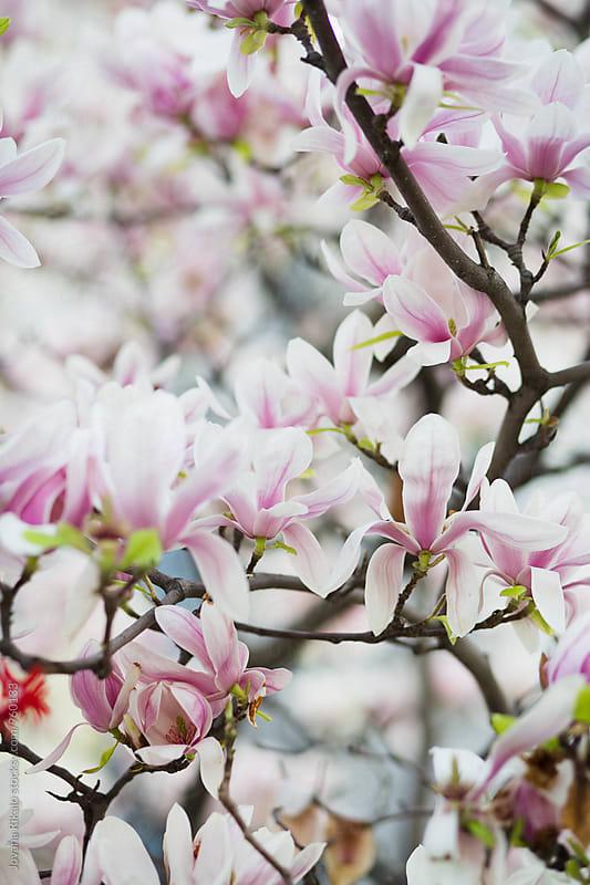 Magnolia tree close up by Jovana Rikalo for Stocksy United