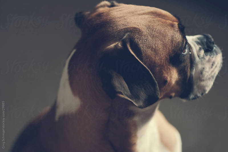 Faun Boxer dog portrait by Greg Schmigel for Stocksy United