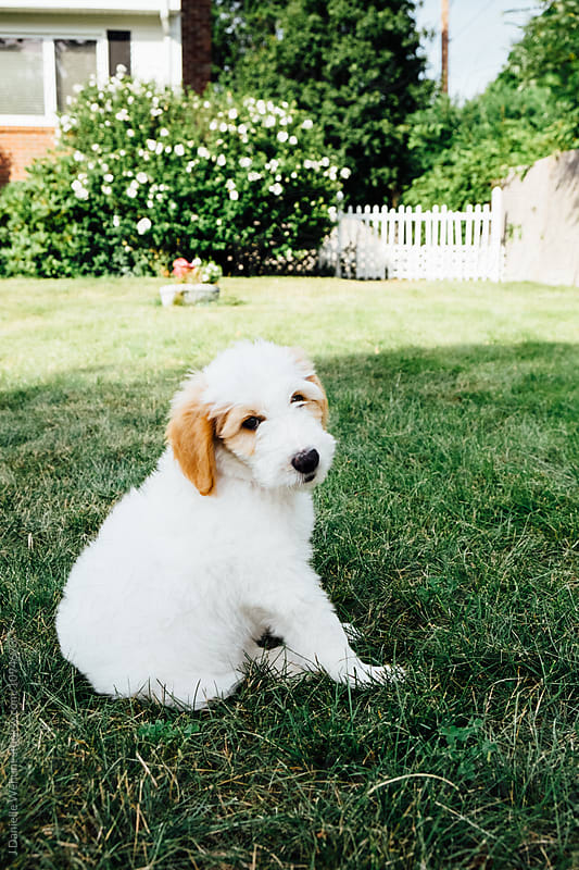 A white and brown golden doodle puppy  sitting in grass outside by J Danielle Wehunt for Stocksy United