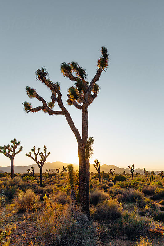 Joshua Tree At Sunset by Luke Mattson for Stocksy United