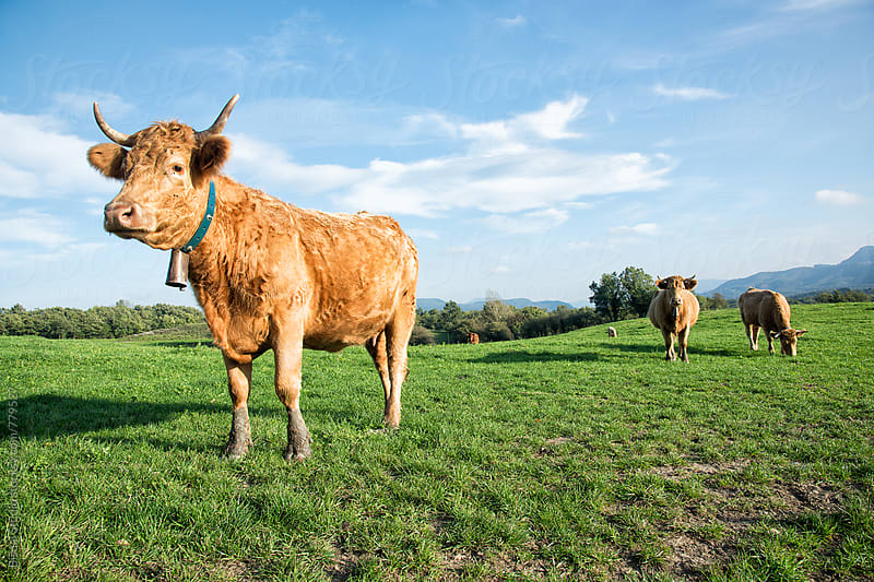 Brown cow in the countryside, Cantonigrós  by Bisual Studio for Stocksy United