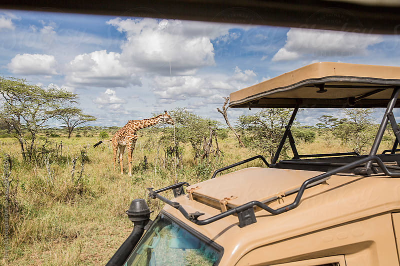 Safari Car and Giraffe by Diane Durongpisitkul for Stocksy United