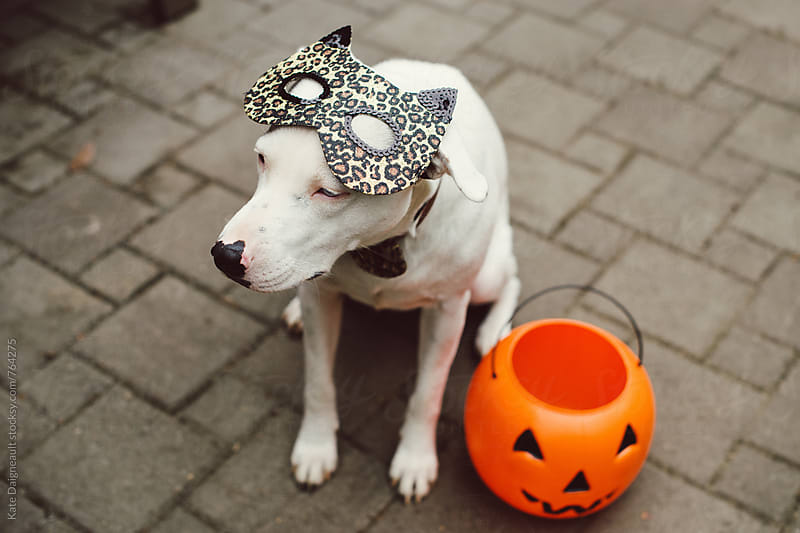 Puppy in a cat costume, ready for Halloween. by Kate Daigneault for Stocksy United