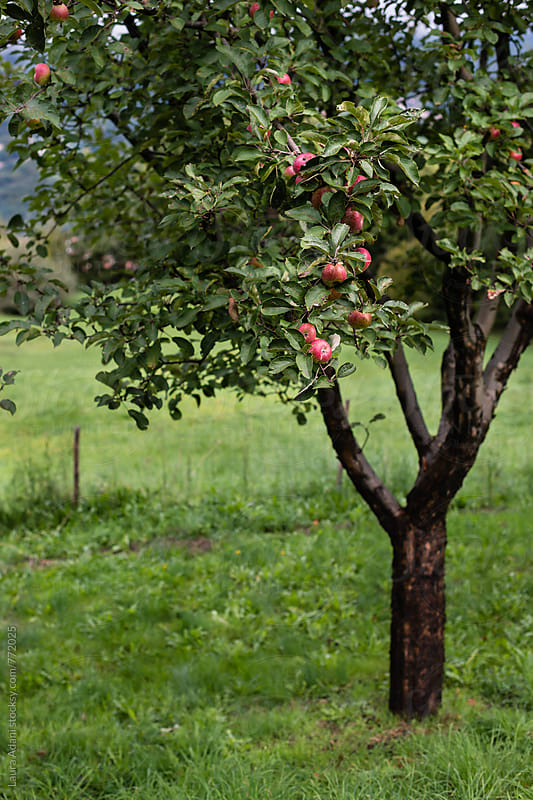 Apple tree by Laura Adani for Stocksy United