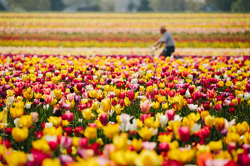 man riding bicycle through tulip field in spring by Cameron Zegers for Stocksy United