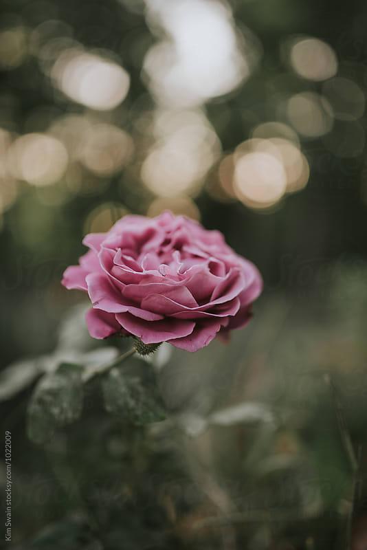 Magenta Rose by Kim Swain for Stocksy United