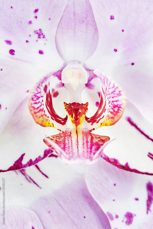 Orchid by James Ross for Stocksy United