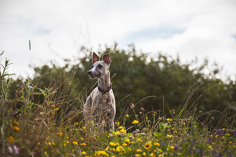 A Walk in the Forest with Whippet by Alie Lengyelova for Stocksy United