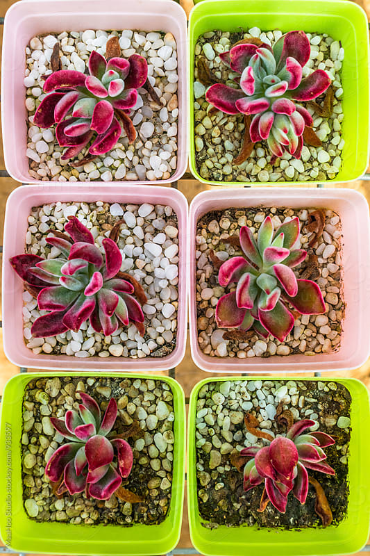 Close up of succulent plants by Maa Hoo for Stocksy United