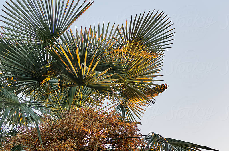 Palm tree by Alessio Bogani for Stocksy United