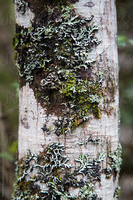 Lichen and moss covered tree trunk in nature by Matthew Spaulding for Stocksy United