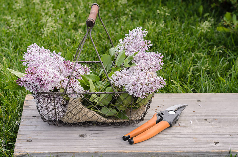 Basket of Freshly Cut Lilacs by Julie Rideout for Stocksy United