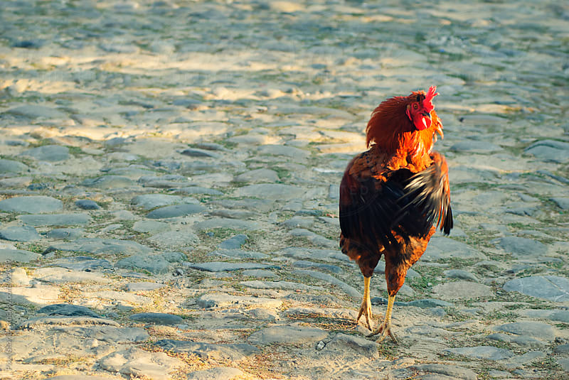 Тhreatening rooster by Pixel Stories for Stocksy United