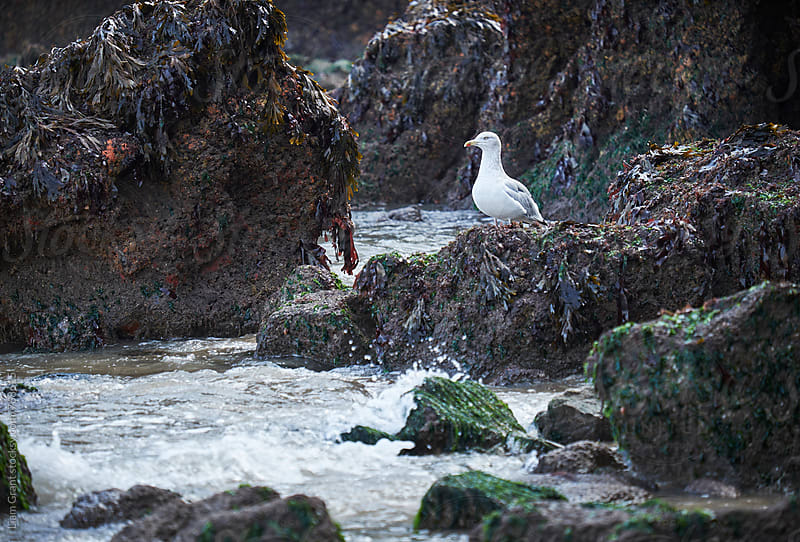 Gull on the rocks at Tenby. Wales, UK. by Liam Grant for Stocksy United