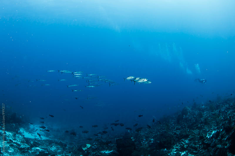 school of jack fish and barracuda follow the diver by Song Heming for Stocksy United