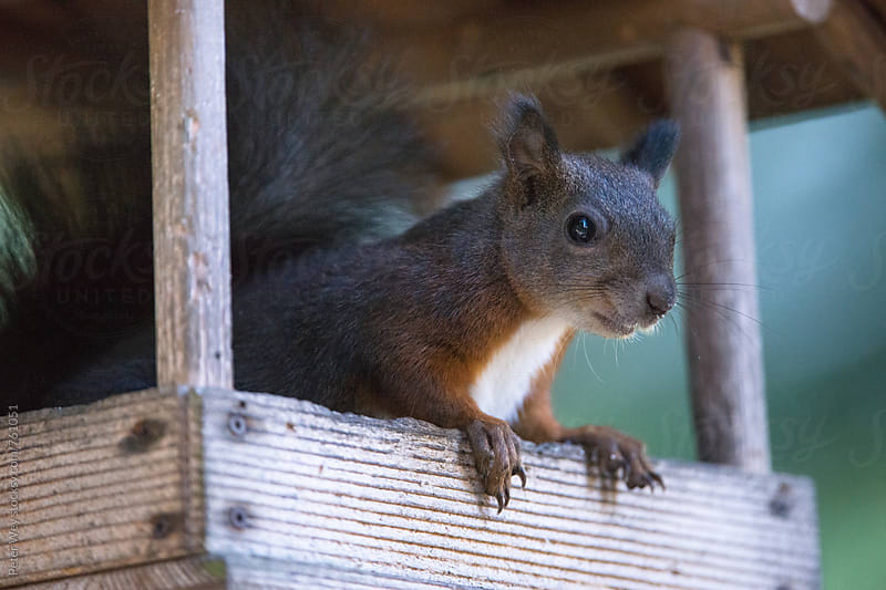 Squirrel in birdhouse by Peter Wey for Stocksy United