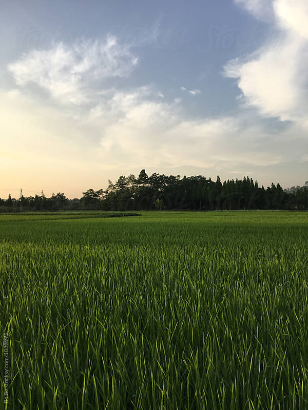 beautiful rice paddy at sunset by Bo Bo for Stocksy United