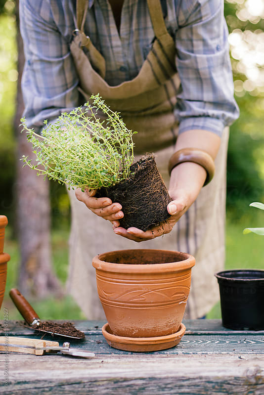 Gardener repotting a thyme plant by Pixel Stories for Stocksy United