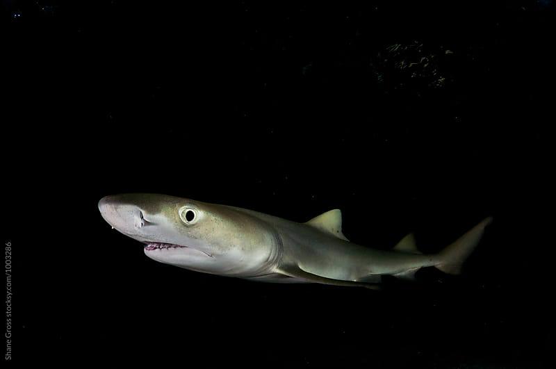 Night Shark Portrait  by Shane Gross for Stocksy United