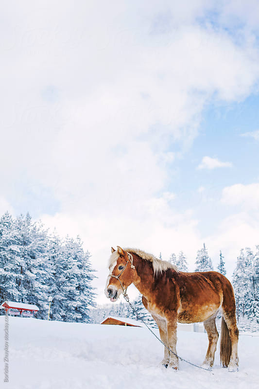 Horse On Winter Day by Borislav Zhuykov for Stocksy United