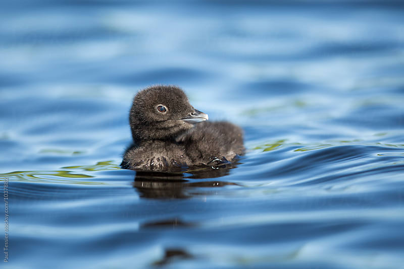 Loon Chick by Paul Tessier for Stocksy United