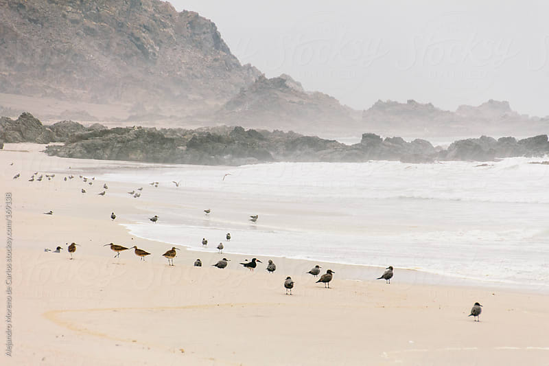 Sea birds on the sand of a beach by Alejandro Moreno de Carlos for Stocksy United
