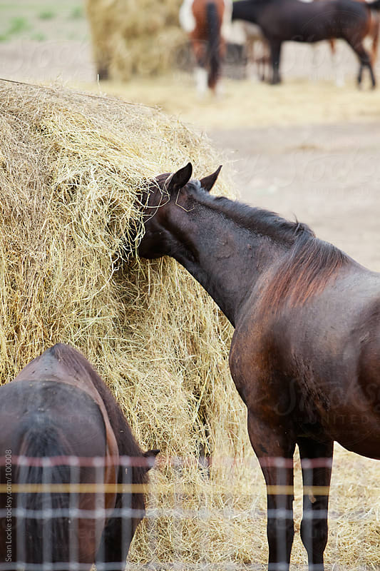 Horse With Head Buried In Hay by Sean Locke for Stocksy United