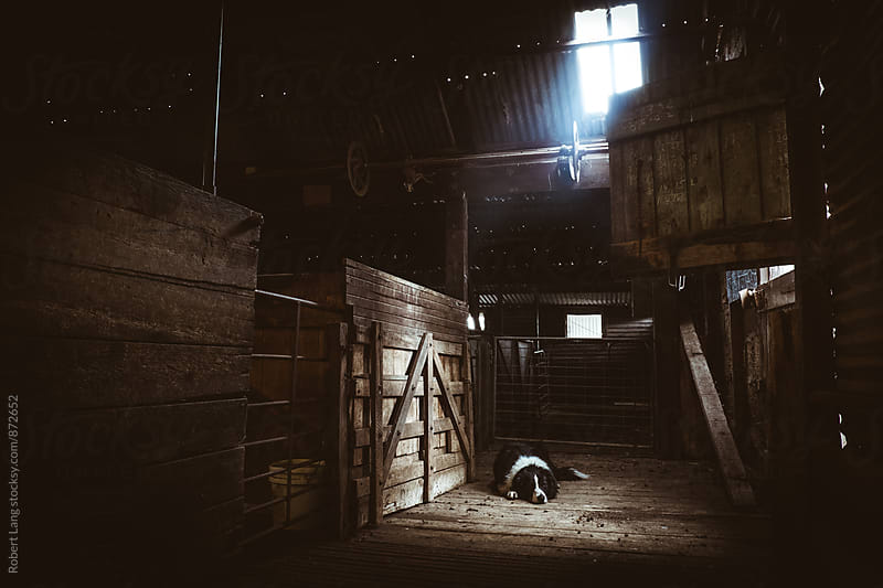 Sheep dog sleeping on a shearing shed floor by Robert Lang for Stocksy United