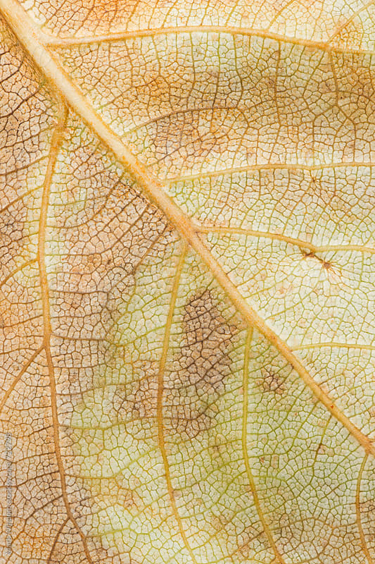 Cottonwood leaf detail by Mark Windom for Stocksy United