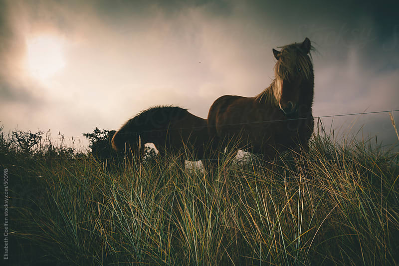 Iceland horses in dramatic landscape in Denmark by Elisabeth Coelfen for Stocksy United