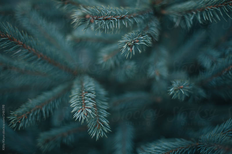 Pine tree branches by Kitty Kleyn for Stocksy United