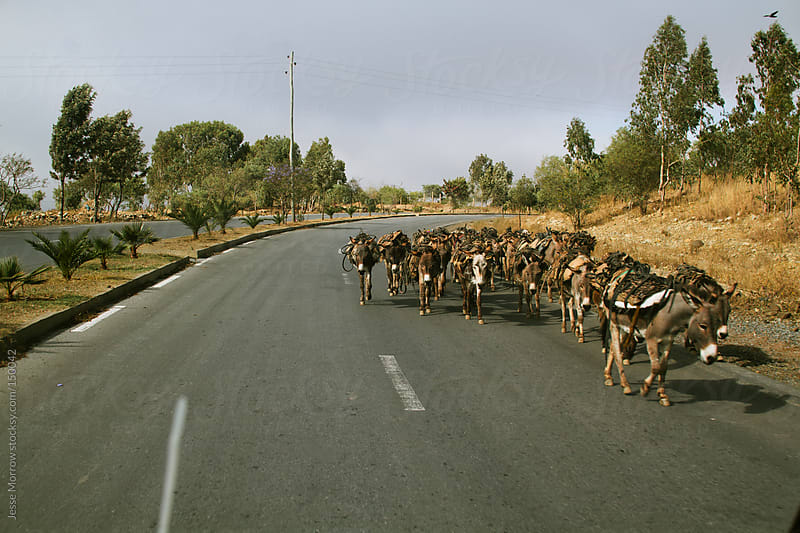 Donkeys move along road  by Jesse Morrow for Stocksy United
