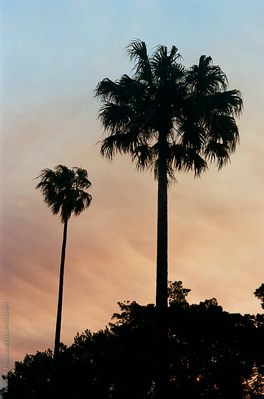 Palms at Sunset in Sydney by Reece McMillan for Stocksy United