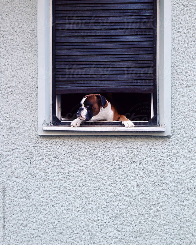Dog chilling on the window by Marko Milovanović for Stocksy United