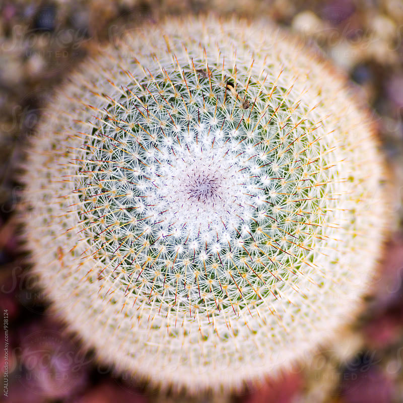 Cactus seen from above by ACALU Studio for Stocksy United