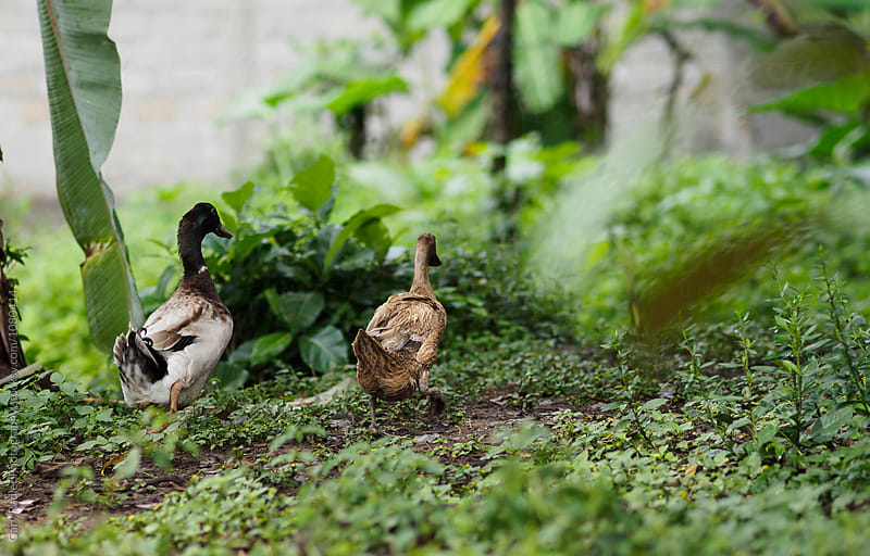 Two Ducks in Bali by Gary Radler Photography for Stocksy United