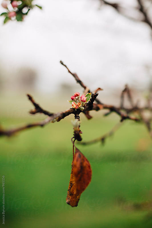 Tree budding with a leftover leaf by Jessica Byrum for Stocksy United