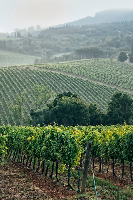 Vineyards in the Chianti region in Tuscany by Beatrix Boros for Stocksy United