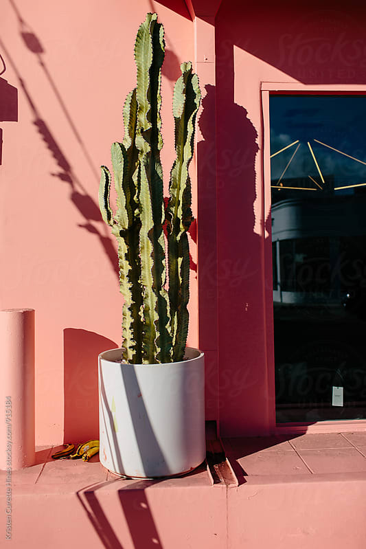 Potted cactus in the sun against a salmon colored wall  by Kristen Curette Hines for Stocksy United