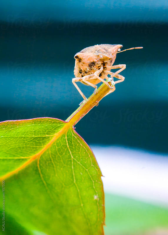Bedbug perched on a leaf by ACALU Studio for Stocksy United