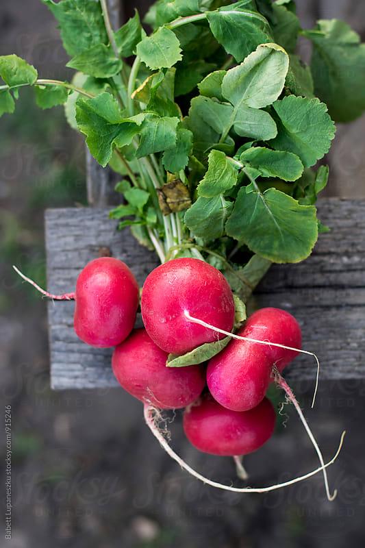 Fresh radish  by Babett Lupaneszku for Stocksy United