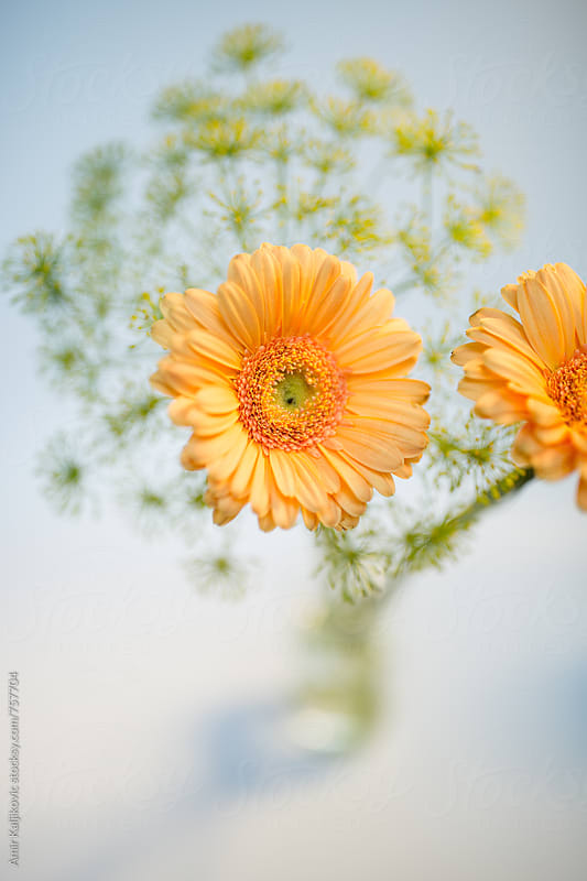 Vase of Orange Colored Gerbera Daisies by Amir Kaljikovic for Stocksy United