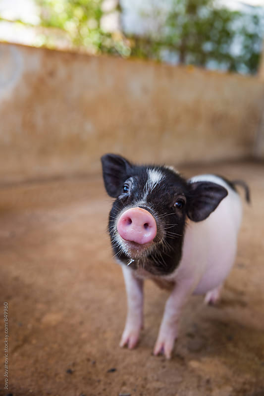 Piglet looking at the camera by Jovo Jovanovic for Stocksy United